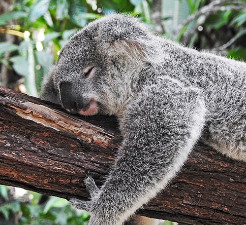 Koala sleeping on a branch in Australia