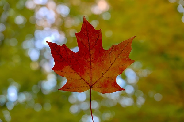 Close up of a Maple Leaf in a park